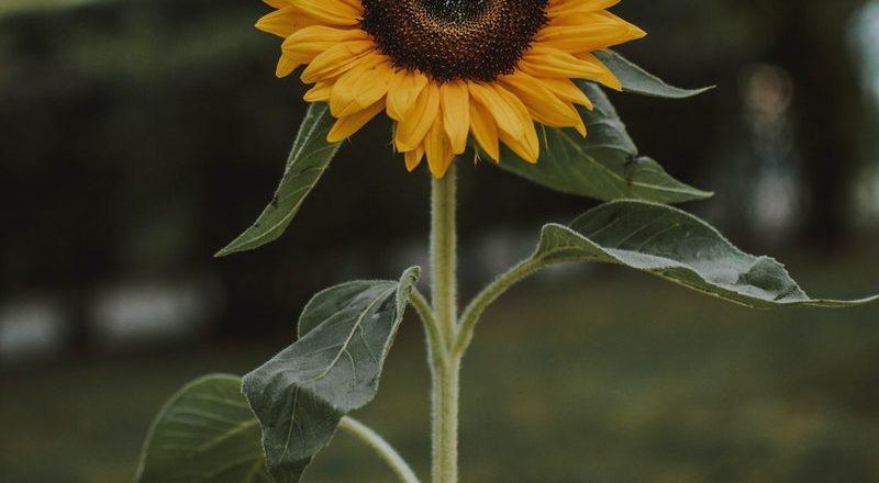 5 Cara Menanam Bunga Matahari Menggunakan Biji Tanpa Ribet